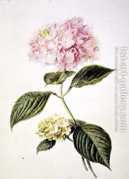 Hydrangea hortensia by Arnoldus Bloemers - Reproduction Oil Painting