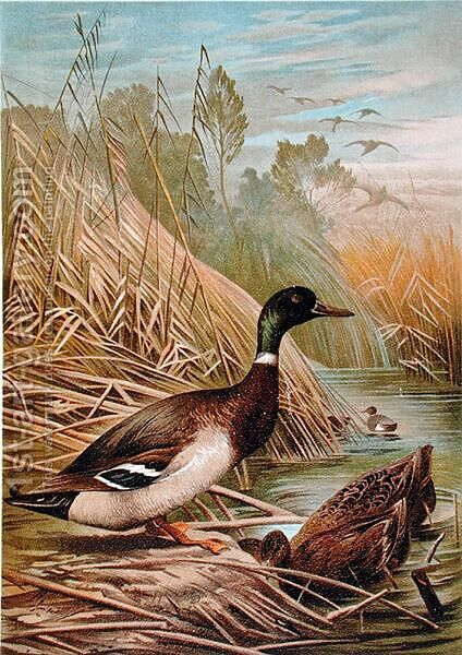 Mallards, illustration from a Hungarian natural history book, 1904 by Alfred Brehm - Reproduction Oil Painting