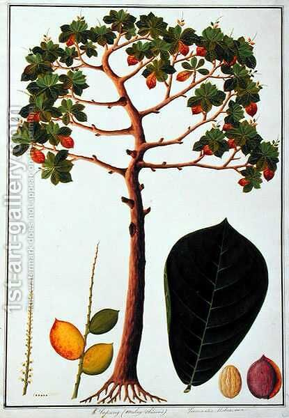 Klapang Terminalia Molucana or Malay Almond, from 'Drawings of Plants from Malacca', c.1805-18 by Anonymous Artist - Reproduction Oil Painting