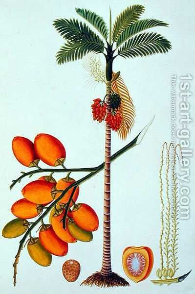 Pinang Betle Nut Tree, from 'Drawings of Plants from Malacca', c.1805-18 by Anonymous Artist - Reproduction Oil Painting