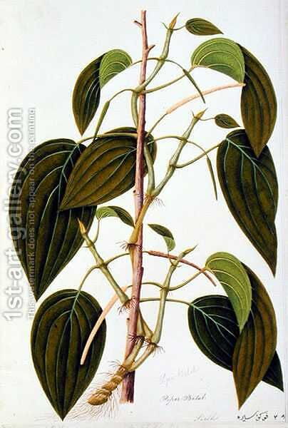 Piper Betal, from 'Fifty-Five Drawings of Medicinal Plants of Malacca, Volume 1', c.1805-18 by Anonymous Artist - Reproduction Oil Painting