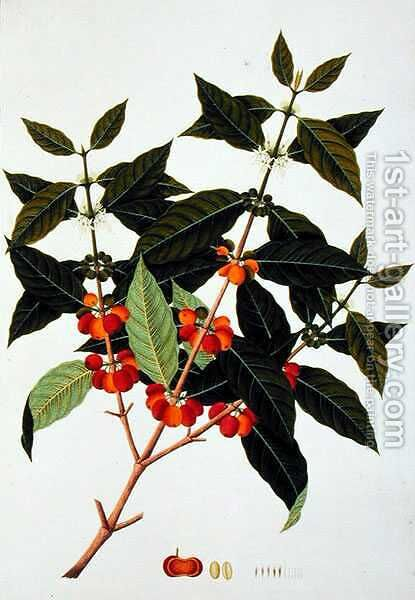 Coffee, from 'Drawings of Plants from Malacca', c.1805-18 by Anonymous Artist - Reproduction Oil Painting