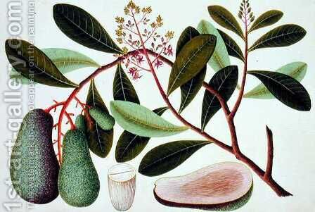 Langote or Mangifera, from 'Drawings of Plants from Malacca' by Anonymous Artist - Reproduction Oil Painting