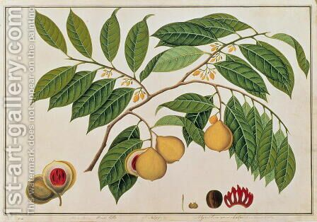 Booa Palla or Nutmeg, from 'Drawings of Plants from Malacca', c.1805-18 by Anonymous Artist - Reproduction Oil Painting