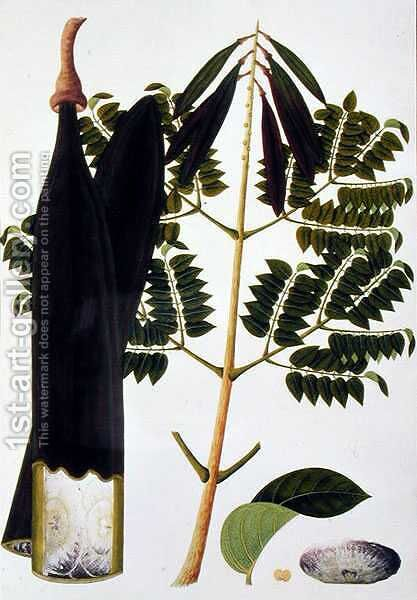 Kachang Kayoo or Bignonia Indica, from 'Drawings of Plants from Malacca', c.1805-18 by Anonymous Artist - Reproduction Oil Painting