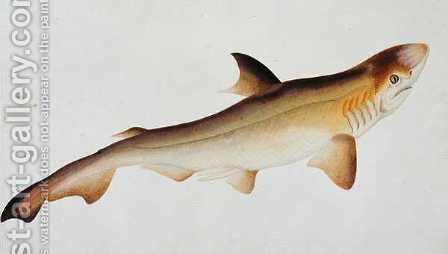Shark, Eekan Ee-oo, from 'Drawings of Fishes from Malacca', c.1805-18 by Anonymous Artist - Reproduction Oil Painting