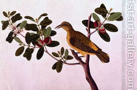 Boorong Koonjit Koonjit, from 'Drawings of Birds from Malacca', c.1805-18 by Anonymous Artist - Reproduction Oil Painting