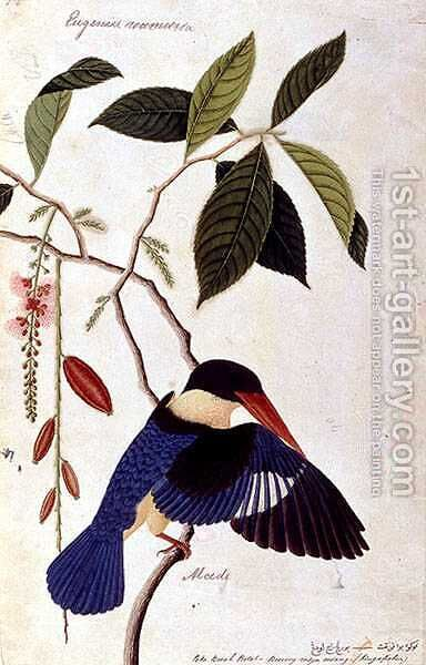 Kingfisher or Alced, Poko Booah Pootal, Boorong radja oodang, from 'Drawings of Birds from Malacca', c.1805-18 by Anonymous Artist - Reproduction Oil Painting