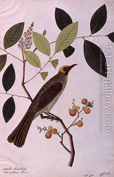 Mata Cooching, from 'Drawings of Birds from Malacca', c.1805-18 by Anonymous Artist - Reproduction Oil Painting
