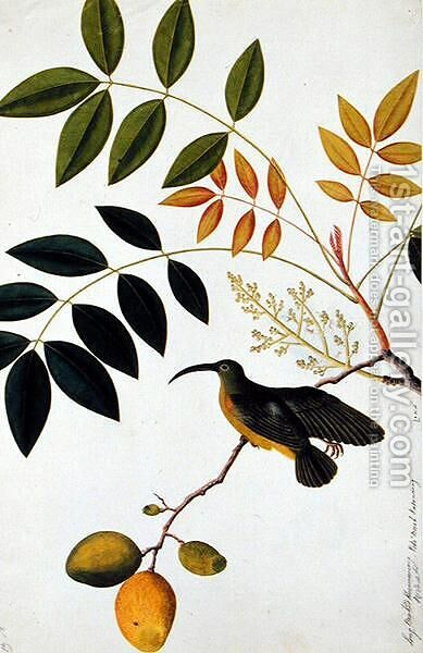 Long-beaked Humming Bird, Poko Booah Kadonong, from 'Drawings of Birds from Malacca', c.1805-18 by Anonymous Artist - Reproduction Oil Painting