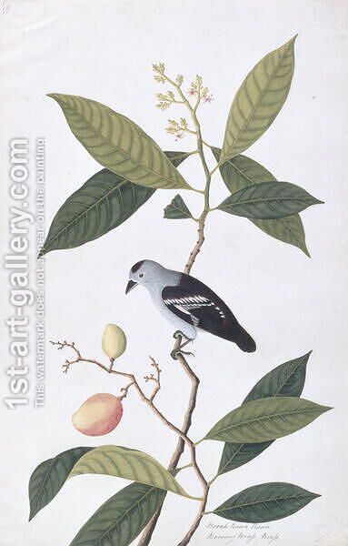 Booah Nawa Hawa, from 'Drawings of Birds from Malacca', c.1805-18 by Anonymous Artist - Reproduction Oil Painting