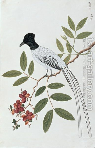 Bua Redang Boorong cha-wie, from 'Drawings of Birds from Malacca', c.1805-18 by Anonymous Artist - Reproduction Oil Painting