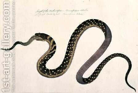 Large snake eating another, from 'Drawings of Animals, Insects and Reptiles from Malacca', c.1805-18 by Anonymous Artist - Reproduction Oil Painting