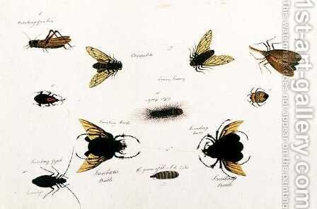 Bilalang Gambur, Cicada, Koombang Kerbo, Koombang Gajah, Scaraboeus Beetle, Ucanucang, from 'Drawings of Animals, Insects and Reptiles from Malacca', c.1805-18 by Anonymous Artist - Reproduction Oil Painting