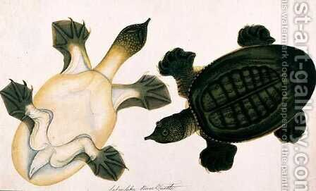 River Turtle, Labie Labu, from 'Drawings of Animals, Insects and Reptiles from Malacca', c.1805-18 by Anonymous Artist - Reproduction Oil Painting