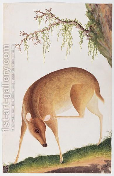 Fawn, from 'Drawings of Animals, Insects and Reptiles from Malacca', c.1805-18 by Anonymous Artist - Reproduction Oil Painting