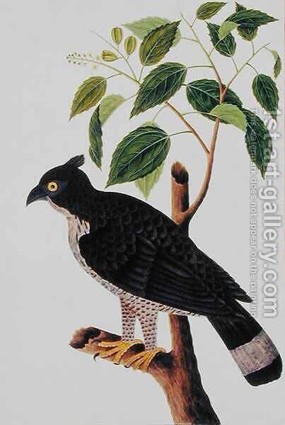 Bird of Prey, from 'Drawings of Birds from Malacca', c.1805-18 (2) by Anonymous Artist - Reproduction Oil Painting
