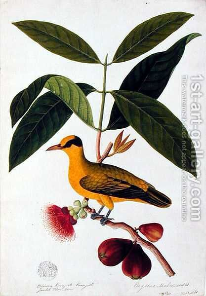 Boorong koonjiet koonjiet, Jambo Flore mera, from 'Drawings of Birds from Malacca', c.1805-18 by Anonymous Artist - Reproduction Oil Painting