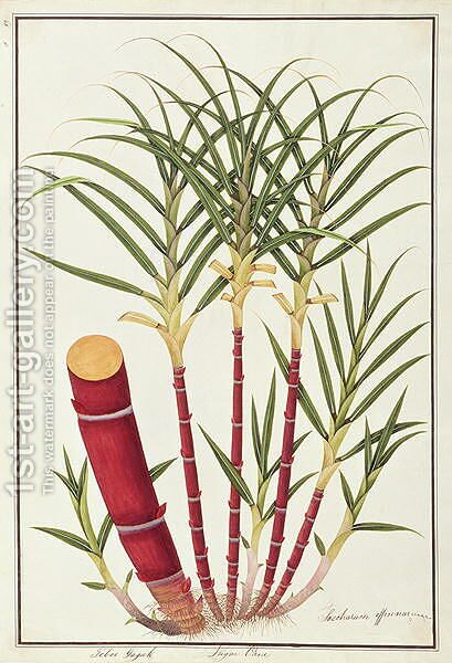 Sugar Cane, Teboo Gagak, from 'Drawings of Plants from Malacca', c.1805-18 by Anonymous Artist - Reproduction Oil Painting