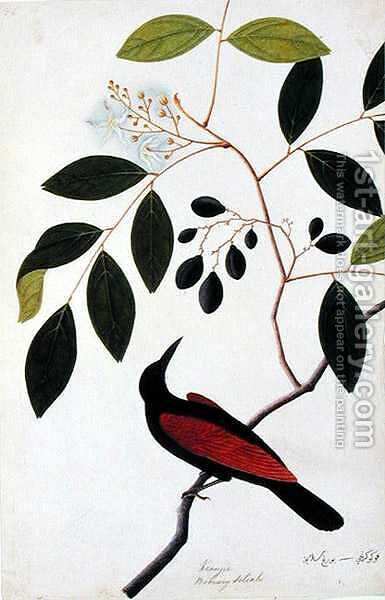 Kranjie, Boorong Seliah, from 'Drawings of Birds from Malacca', c.1805-18 by Anonymous Artist - Reproduction Oil Painting