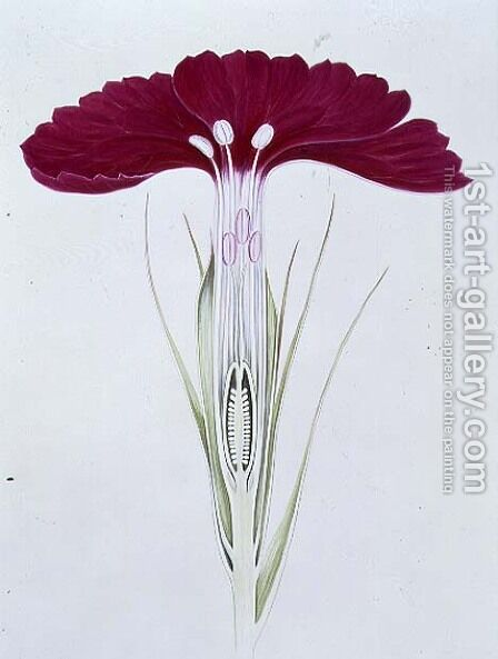 Drawing 22-1 Dianthus barbatus (Sweet William) 1904 by Arthur Henry Church - Reproduction Oil Painting