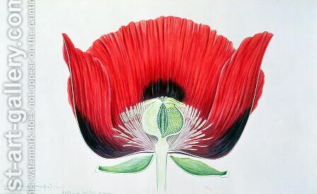 Papaver somniferum (Opium Poppy) 1905 by Arthur Henry Church - Reproduction Oil Painting
