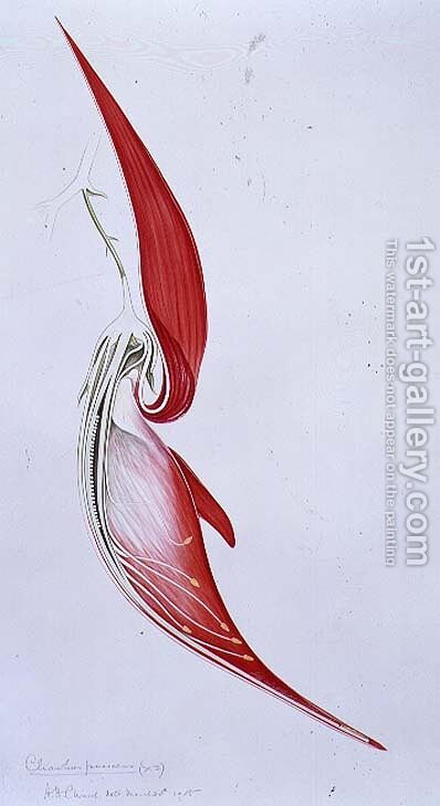 Drawing 57-3 Clianthus puniceus (Glory Pea) 1905 by Arthur Henry Church - Reproduction Oil Painting