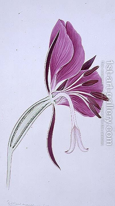 Drawing 70-2 Chameriion angustifolium (Rosebay willowherb) 1904 by Arthur Henry Church - Reproduction Oil Painting