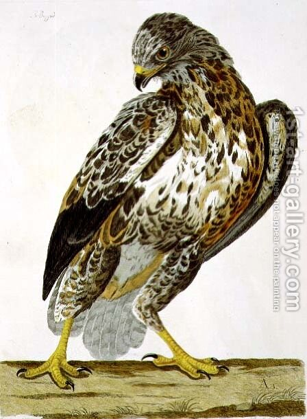 The Buzzard (Buteo buteo) plate from 'The British Zoology by Charles Collins - Reproduction Oil Painting
