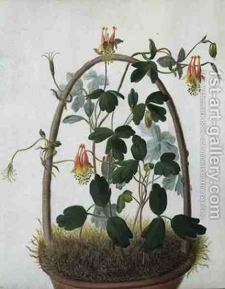 Tropaeolum Tuberosum by Matilda Conyers - Reproduction Oil Painting