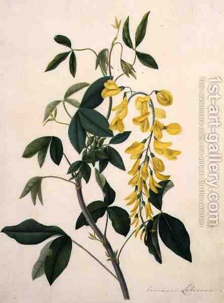 Laburnum Anagyroides by Matilda Conyers - Reproduction Oil Painting