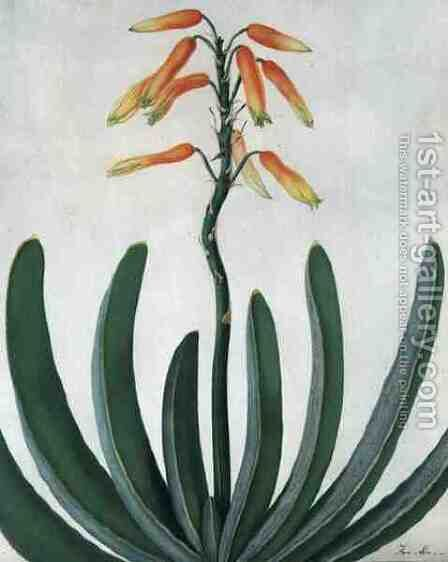 Aloe Striata by Matilda Conyers - Reproduction Oil Painting