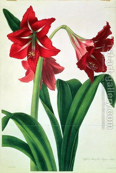 Hybrid Amaryllis Regina vittata by Barbara  (after) Cotton - Reproduction Oil Painting