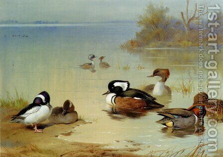 Buffel-headed duck,, American green-winged teal and hooded merganser by Archibald Thorburn - Reproduction Oil Painting