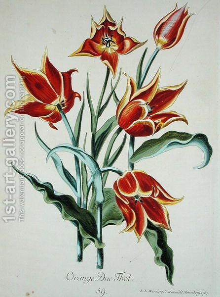 Orange Tulip, from Opera Botanica by Conrad Gesner (1516-65) 1767 by Adam Louis Wirsing - Reproduction Oil Painting