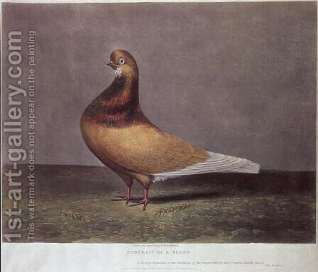 Portrait of a Beard Pigeon by D. Wolsenholme - Reproduction Oil Painting