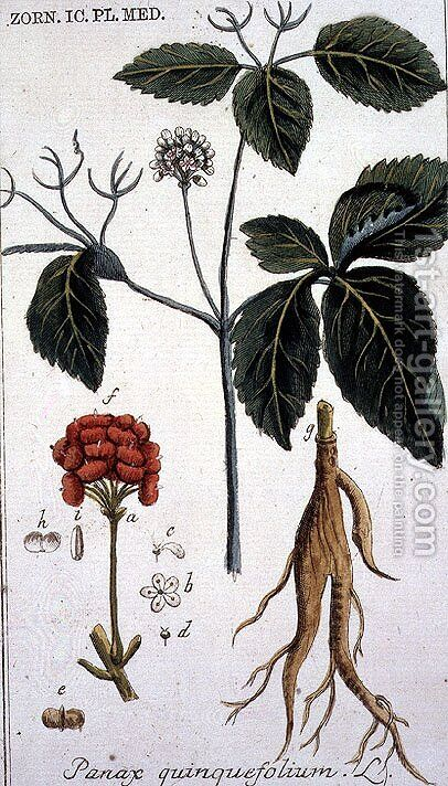 Panax quinquefolium American Ginseng engraved by T. S. Leitner, plate 155, illustration from the Plate Collection of the Botany Library by B Thanner - Reproduction Oil Painting