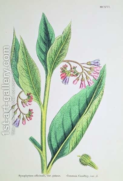 Common Comfrey, plate MCXVI, c.1800 by James Sowerby - Reproduction Oil Painting