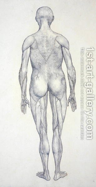 Study Of The Human Figure Posterior View From A Comparative Anatomical Exposition