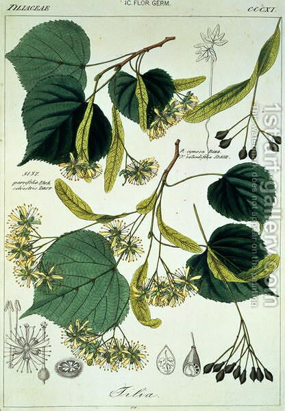 Tilia parvifolia Lime plate 311, illustration from Icones Florae Germanicae Helveticae..., 1844 by Heinrich Gottlieb Ludwig Reichenbach - Reproduction Oil Painting