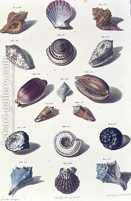 Shells, plate 6 from A Selection of Shells and Crustacea, pub. 1758 by (after) Regenfus, Franz Michael - Reproduction Oil Painting