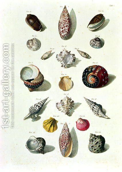 Shells, plate 1 from A Selection of Shells and Crustacea, pub. 1758 by (after) Regenfus, Franz Michael - Reproduction Oil Painting