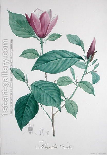 Magnolia discolor, engraved by Legrand by (after) Redoute, Henri Joseph - Reproduction Oil Painting