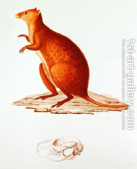 The Wallaby or Short-Tailed Kangaroo setonix brachyrus illustration from Voyage de la Corvette l'Astrolabe Pendant les Annes 1826-29 by Jules Sebastien Cesar Dumont dUrville 1790-1842 1830-35 by (after) Pretre, Jean Gabriel - Reproduction Oil Painting