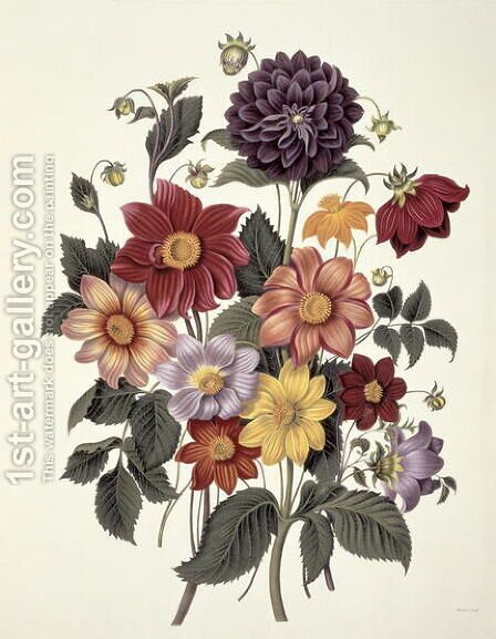 Dahlias, engraved by Weddell, plate 10 from Beauties of Flora by S. Curtis, 1820 by Clara Maria Pope - Reproduction Oil Painting
