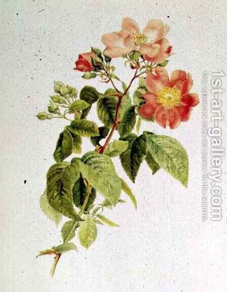 Rosa setigera The Prairie Rose, by Alfred Parsons 1847-1920 by Alfred Parsons - Reproduction Oil Painting