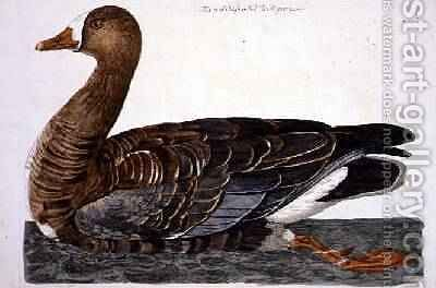 The White-Fronted Goose Anser albifrons plate from The British Zoology, Class II Birds, engraved by Peter Mazell fl.1761-97 by (after) Paillou, Peter - Reproduction Oil Painting