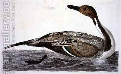 The Pintail Duck Anas acuta plate from The British Zoology, Class II Birds, engraved by Peter Mazell fl.1761-97 1766 by (after) Paillou, Peter - Reproduction Oil Painting