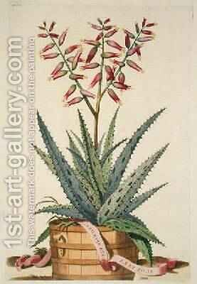 Aloe Vera Costa Spinosa from Phytographia Curiosa by Abraham Munting - Reproduction Oil Painting