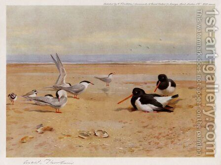 Oyster Catchers, Terns and Ringed Plovers by Archibald Thorburn - Reproduction Oil Painting